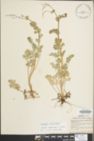 Corydalis sempervirens image