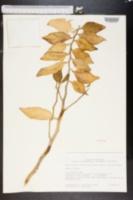 Pedilanthus tithymaloides image