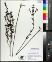 Tomanthera auriculata image