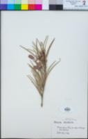 Acacia pendula image