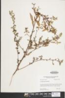 Image of Ludwigia glandulosa