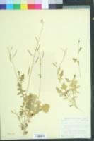 Image of Phravenia viereckii