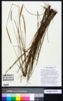 Image of Paspalum stellatum