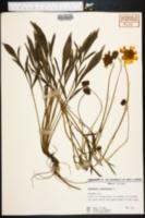 Coreopsis lanceolata image