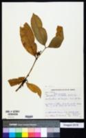 Image of Bonafousia undulata