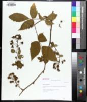 Image of Rubus canadensis