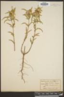 Monarda lasiodonta image