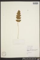 Image of Tectaria x amesiana