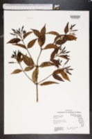 Jasminum nitidum image