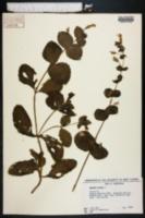 Erythranthe lutea image