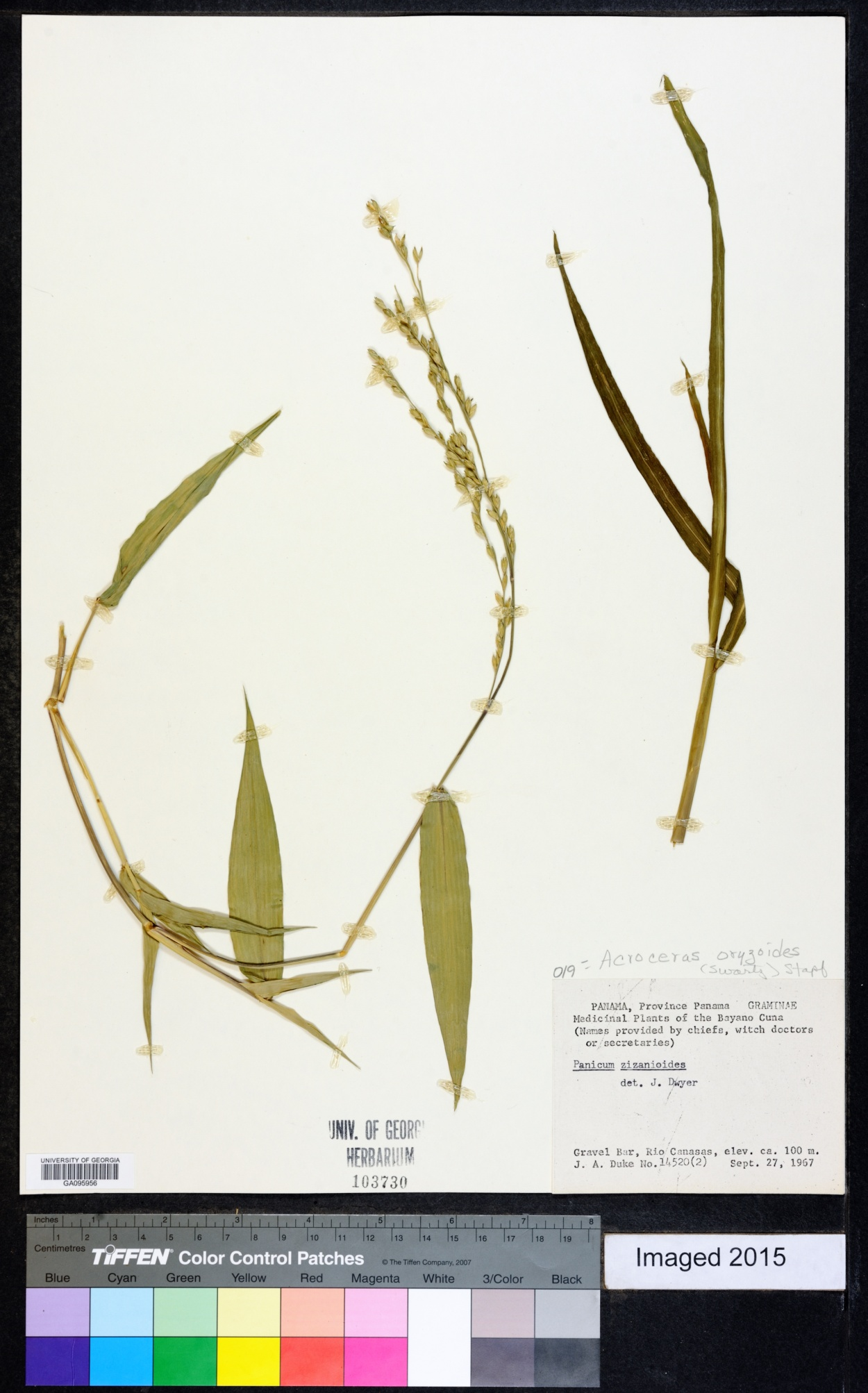 Acroceras oryzoides image