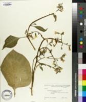 Image of Nicotiana arentsii