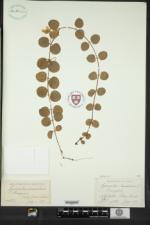 Lysimachia nummularia image