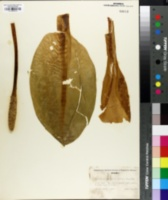 Image of Lysichitum americanum