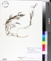 Chamaesyce florida image