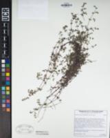 Galium porrigens var. porrigens image