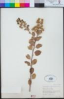 Stegnosperma halimifolium image