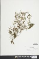 Ceratophyllum echinatum image