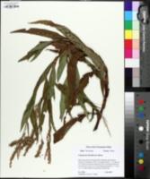 Persicaria densiflora image