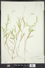 Dichanthelium acuminatum subsp. columbianum image