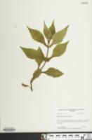 Image of Triosteum aurantiacum