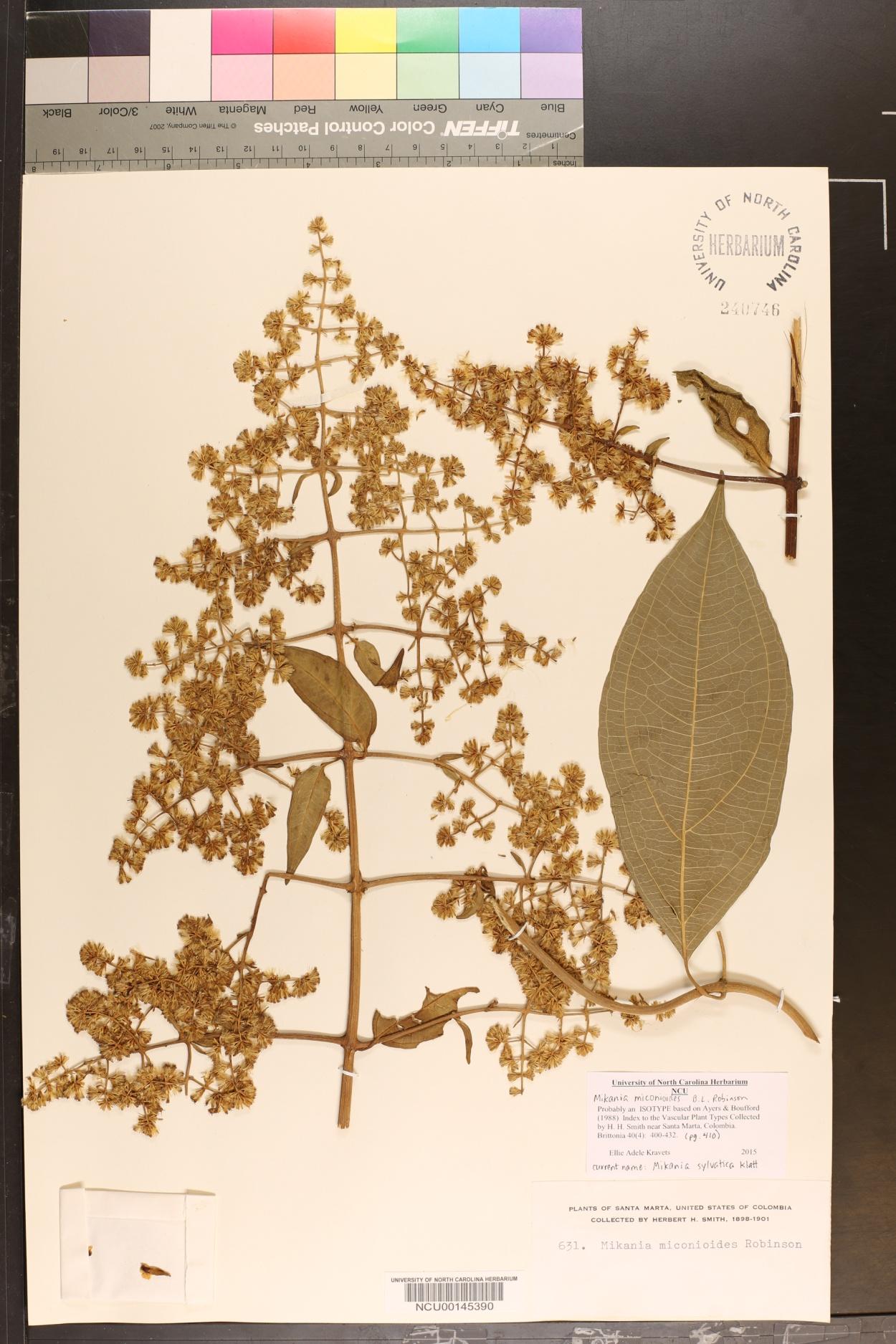 Mikania sylvatica image