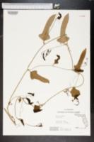 Smilax hispida image