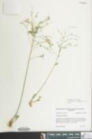 Image of Linum striatum