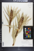 Eryngium proteaeflorum image