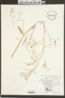 Saxifraga micranthidifolia image
