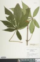 Image of Aesculus turbinata