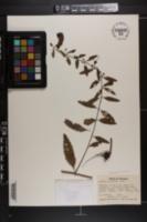 Aureolaria grandiflora image
