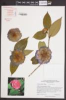 Image of Camellia edithae