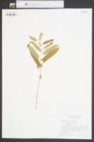 Aristolochia serpentaria var. hastata image