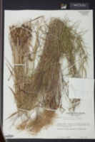 Panicum barbulatum image