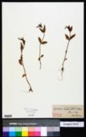 Image of Epilobium alsinifolium