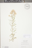 Pseudognaphalium obtusifolium image