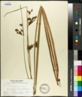 Image of Schoenoplectus etuberculatus