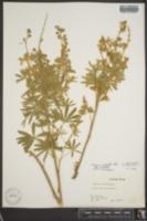 Lupinus caudatus image