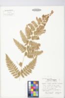 Image of Dryopteris x uliginosa