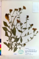 Centaurea dubia image
