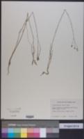 Linum arenicola image