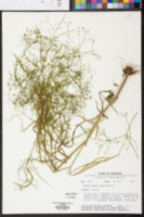 Cynosciadium digitatum image