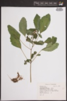 Image of Impatiens biflora