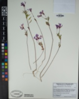 Clarkia concinna image