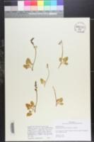 Botrychium pumicola image