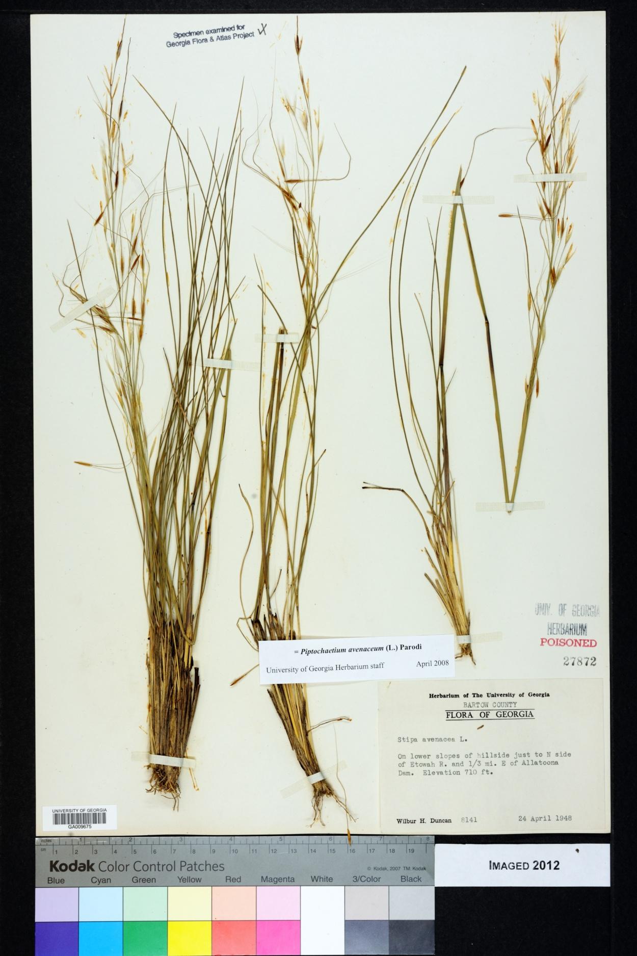 Piptochaetium avenaceum image