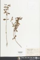 Euphorbia elodes image