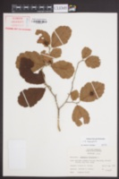 Hamamelis macrophylla image
