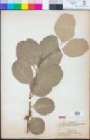 Image of Eucalyptus caesia